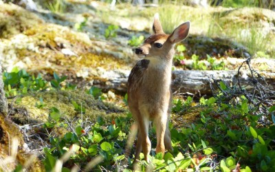 Deer-proofing your Howe Sound  garden